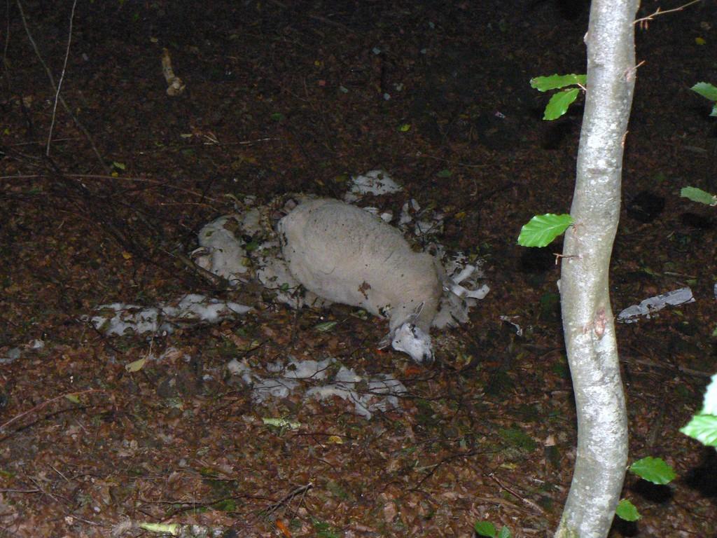 mouton mort abandonné dans le trou du renard
