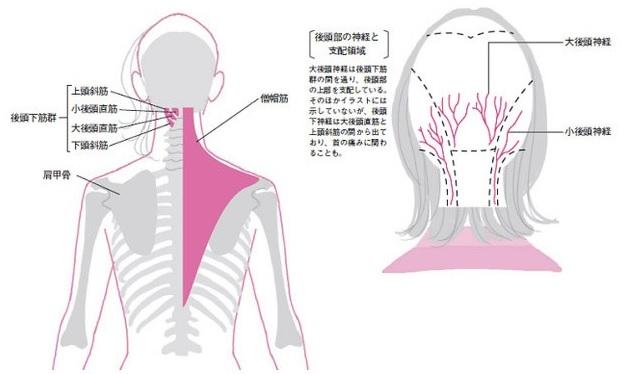 後頭下筋群(上頭斜筋、小後頭直筋、大後頭直筋、下頭斜筋)肩甲骨。僧帽筋。[後頭部の神経と支配領域]大後頭神経は後頭下筋群の間を通り、後頭部の上部を支配している。そのほかイラストには示していないが、後頭下神経は大後頭直筋と上頭斜筋の間から出ており、首の痛みに関わることも。小後頭神経。