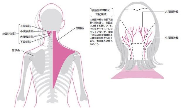 首の付け根の筋肉の凝りが頭や目の神経を圧迫する後頭下筋群は、小後頭直筋、大後頭直筋、上頭斜筋、下頭斜筋という四つの筋肉で立体的に形成されている。悪い姿勢によってこれらの筋肉群が硬直するとその表面を覆っている僧帽筋も硬直し、うなじから肩全体がぱんぱんに凝る。後頭下筋群がある場所には頭や目、耳の領域を支配する神経が密集しているため、凝った筋肉に圧迫されるとズキズキとした頭痛、目のかすみ、耳鳴りなども併発しやすい。