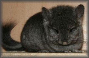 Royal Persian Angora Chinchilla Ebony