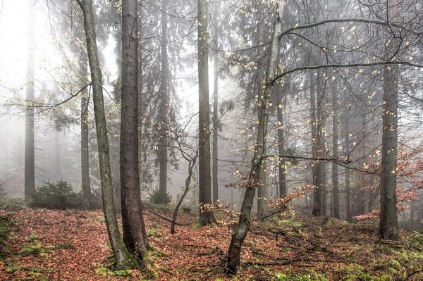 Dicht steht der Nebel im Mischwald.