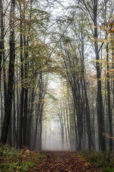 Hoch ragen die Buchen im Wald.