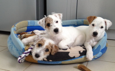 We have Parson Russell Terrier Puppys