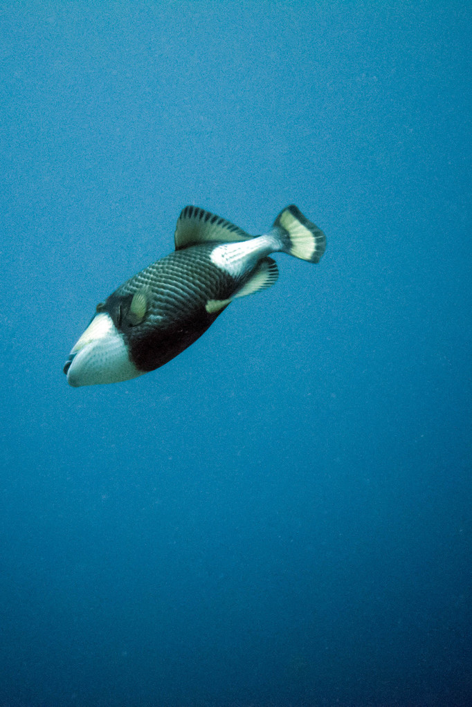 Triggerfisch