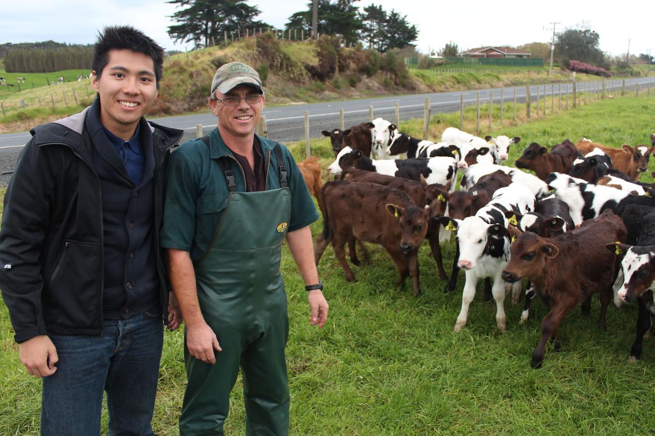 Herman und die Kühe