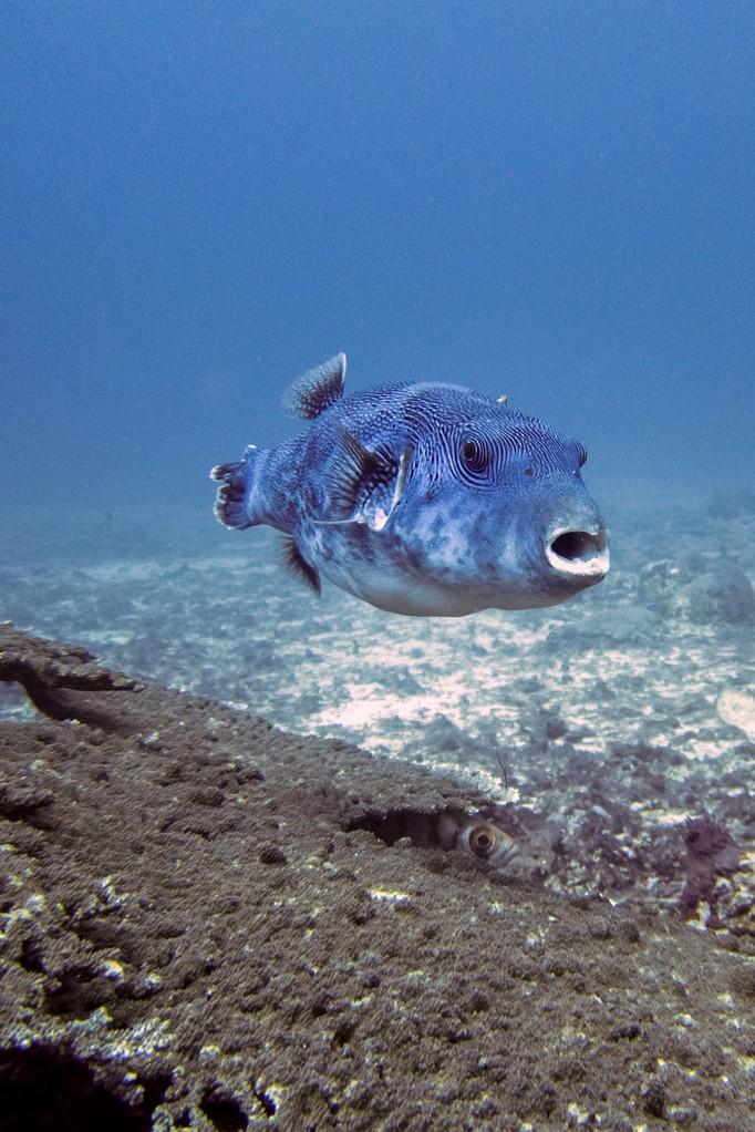 Pufferfisch
