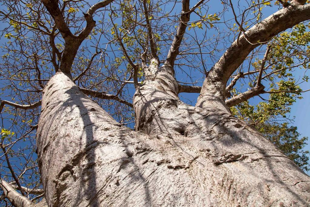 bei den Baobabs...