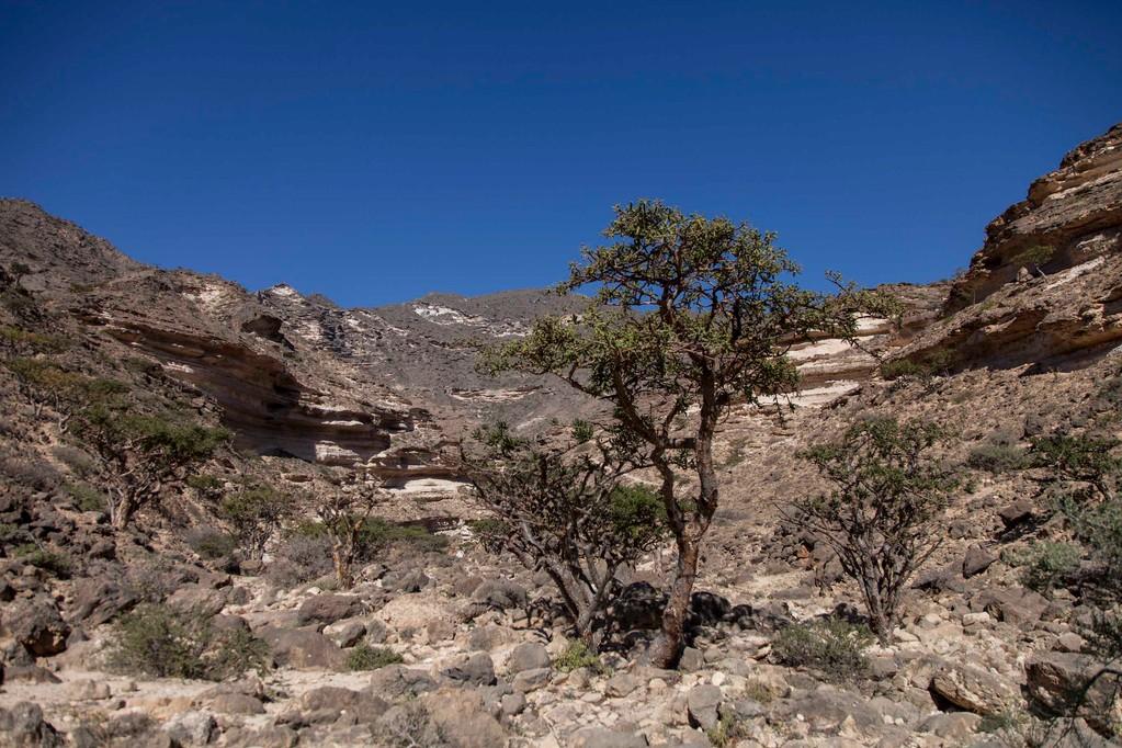 Weihrauchbäume