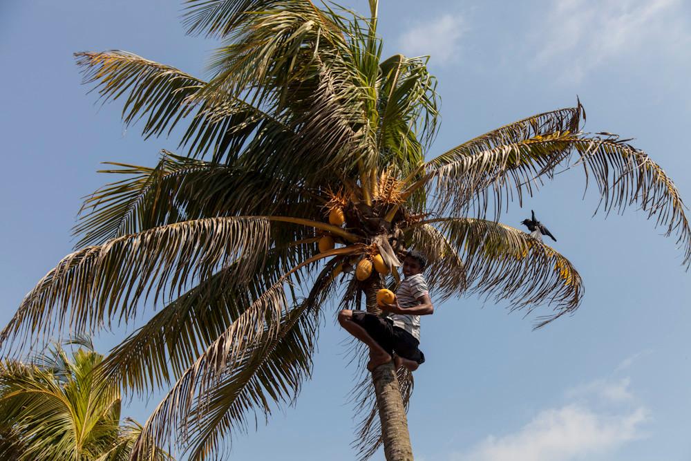 Udari pfückt uns Kokosnüsse