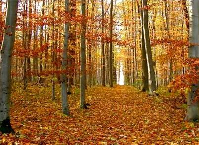 Silberborn im Herbst