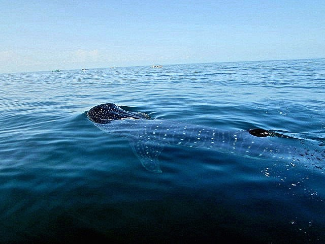 Isla Del Hotbox whale sharks