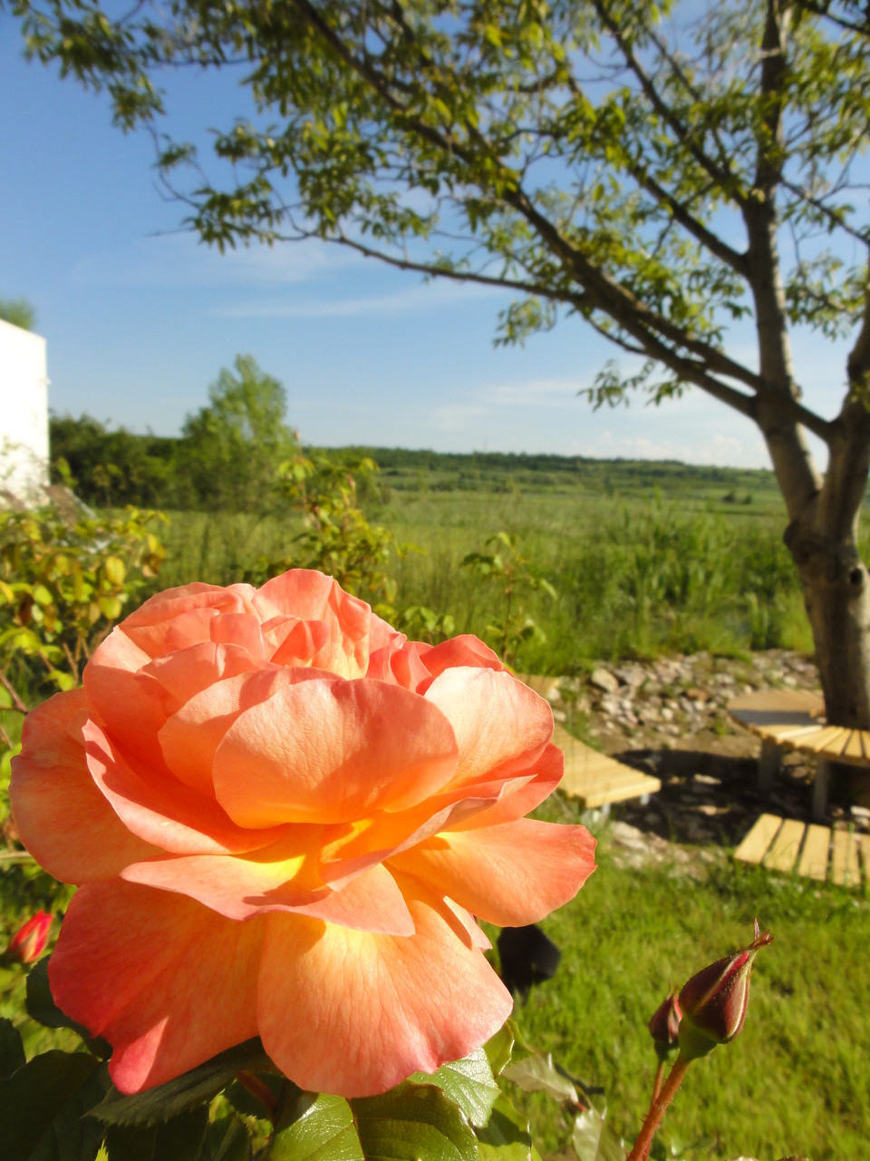 In June, the roses in our garden are in full bloom