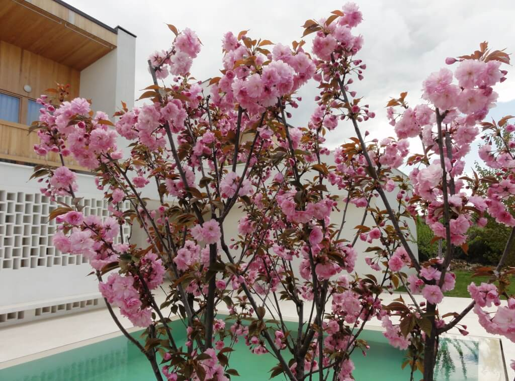 Japanese cherry tree next to the pool