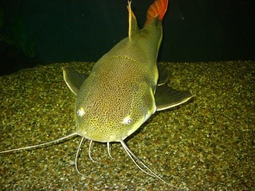 Der Fisch hatte sich wahrlich zu einem Prachtexemplar entwickelt.