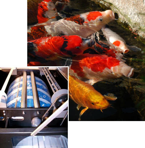 Bild: Kois in glasklarem Teichwasser. Papierfilter mit bahnbrechender Technologie.