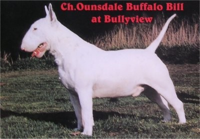 прадед со стороны отца и матери- Ch. Ounsdale Buffalo Bill at Bullyview