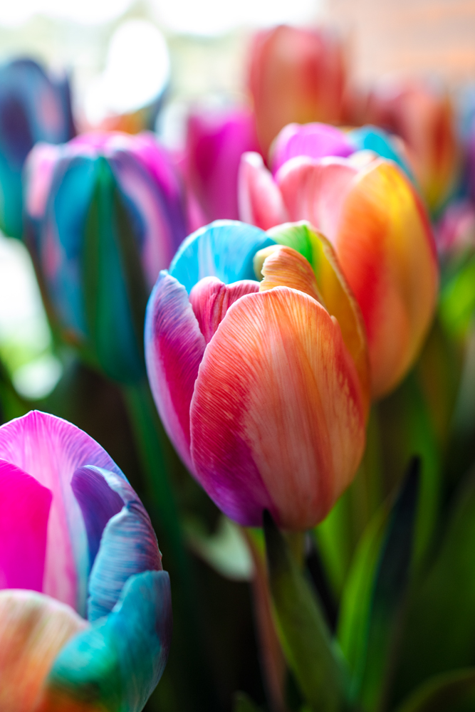 Regenbogen Tulpe Blumex keukenhof virginie varon