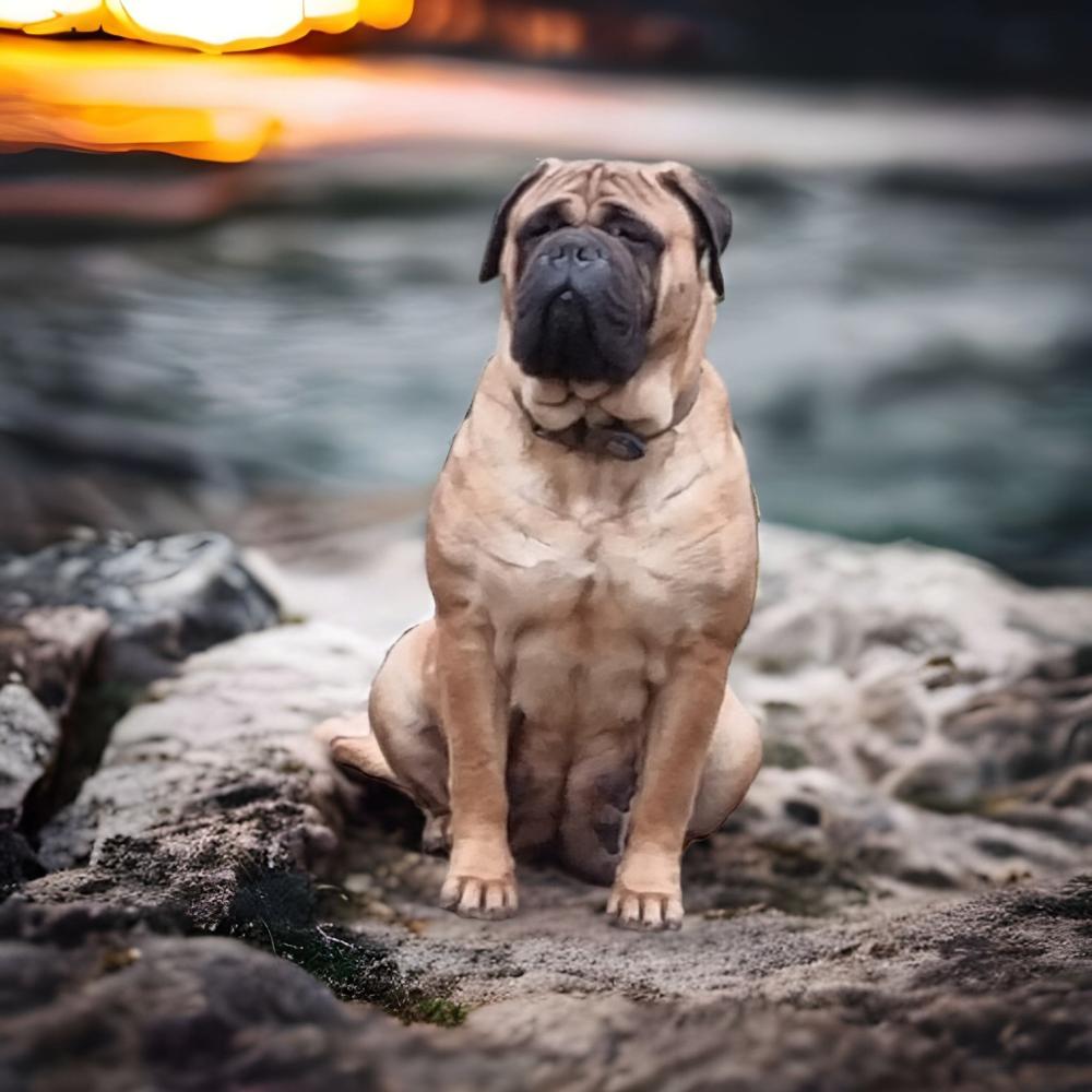 Puppy's verwacht Petra x Rolex met FCI stamboom
