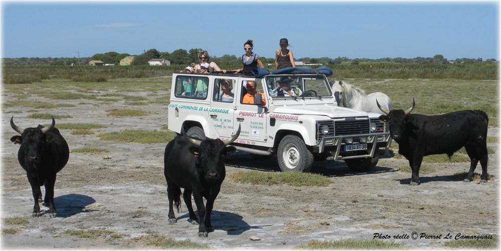 Safari 4x4 en camargue, Pierrot le camarguais