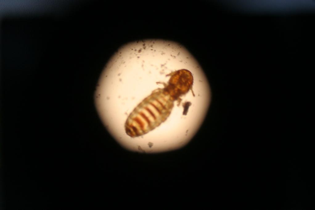 Haarling - Hautparasiten unter dem Mikroskop