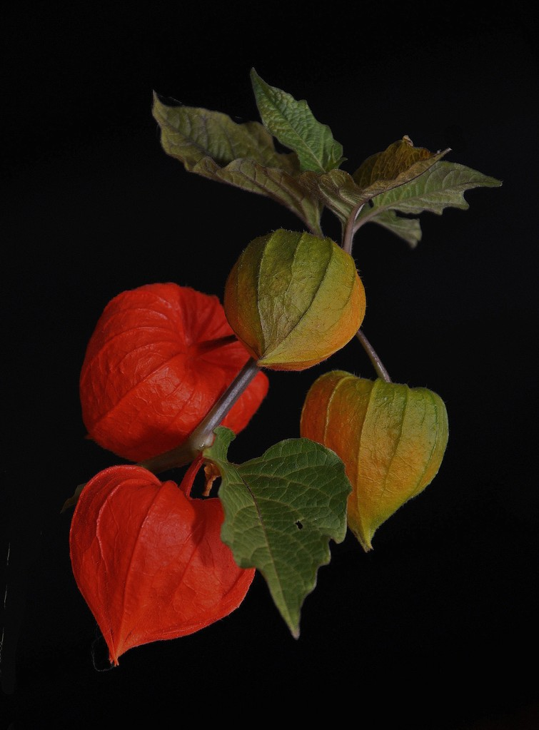 """""""Lampionblumen"""" von Franz Oppenauer"""