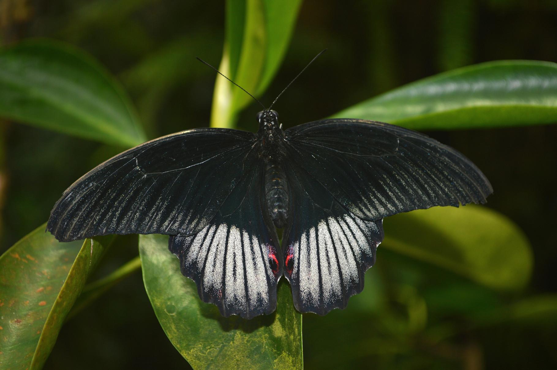 """""""Dunkler Schmetterling"""" v. Tim Bohaumilitzky  2.)EW., 21 Pkt."""