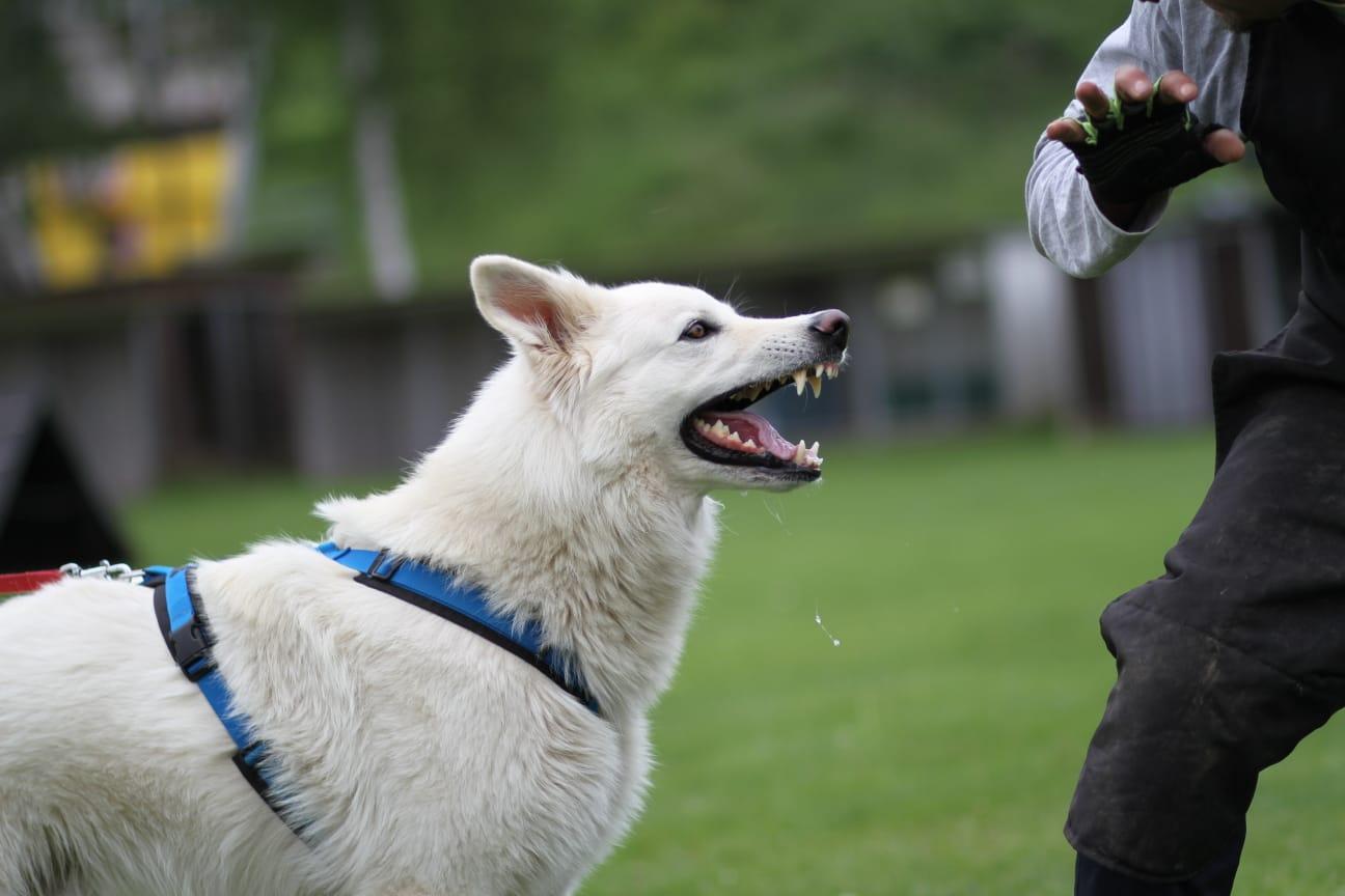 Weisser Schäferhund - Deckrüde Wesley of White Valley