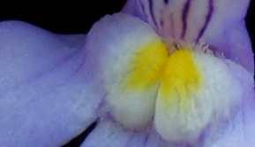 Detailaufnahme der Blüte, nicht in Originalgröße.