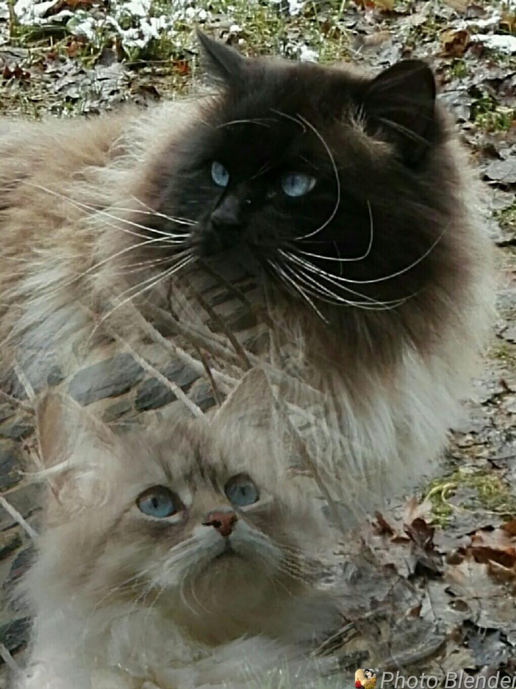 Nouvelle naissance a Campcros❤ 5 magnifiques chatons