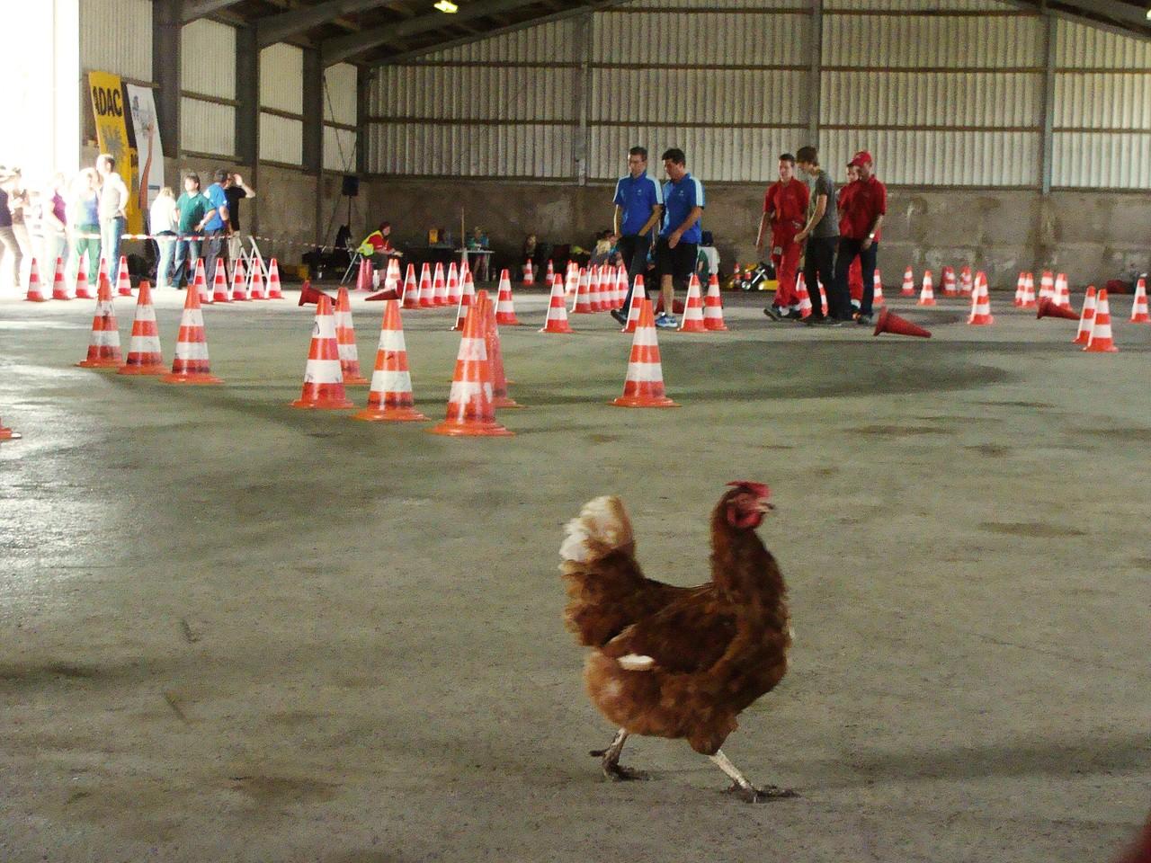 Das Huhn, des wartens überdrüssig...