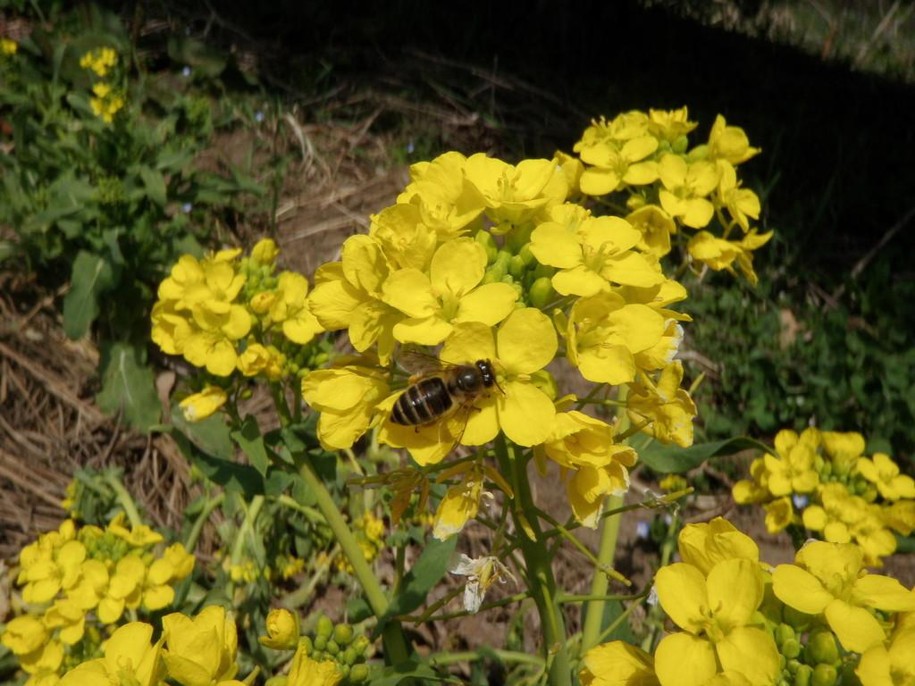 日本蜜蜂も大忙し