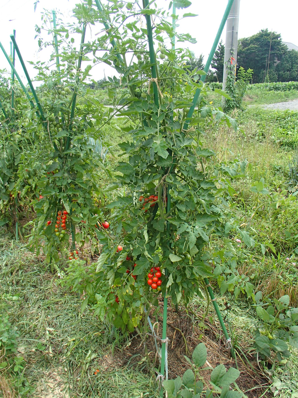 自然菜園「トマト」