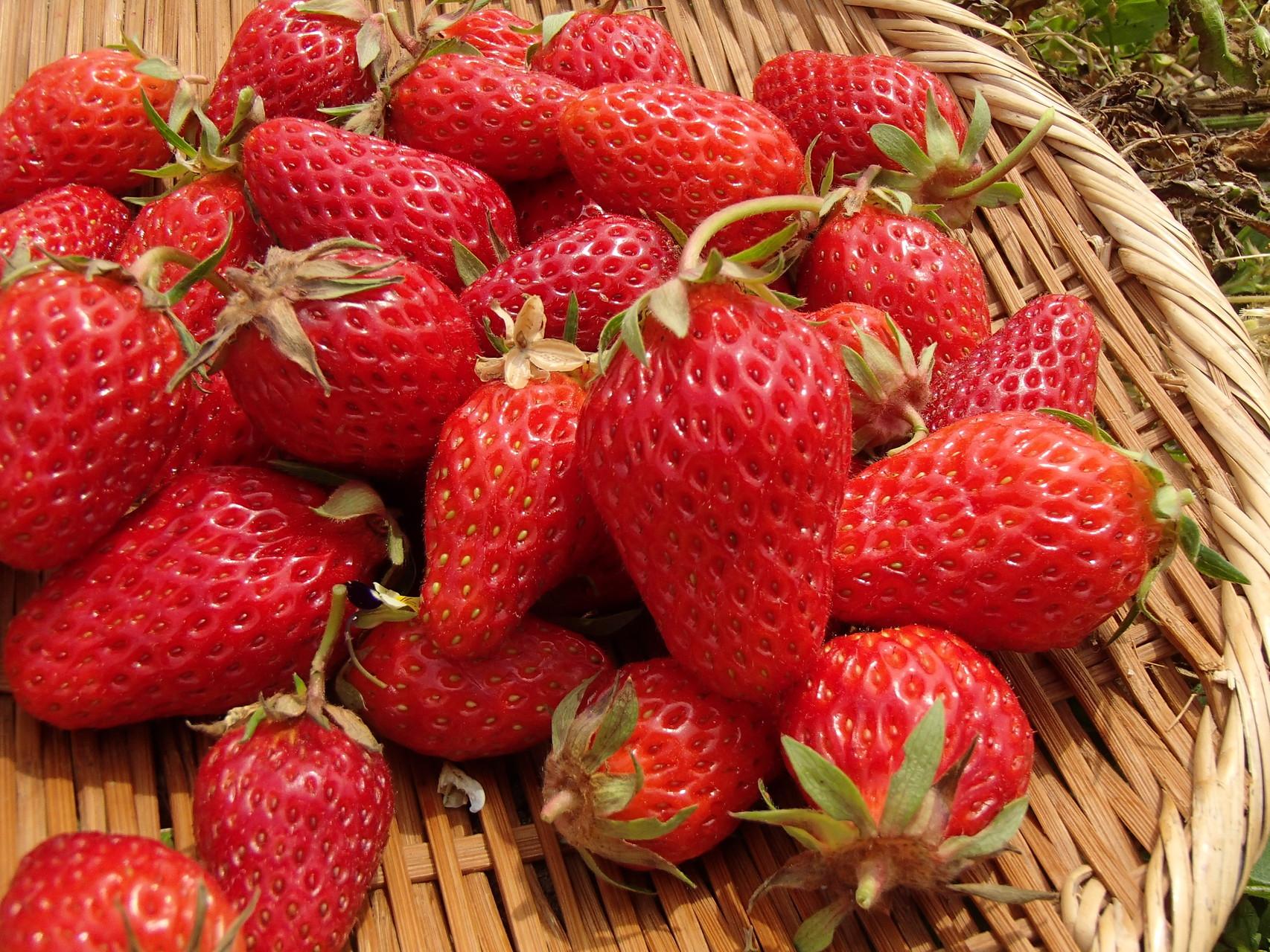 自然菜園「イチゴ」