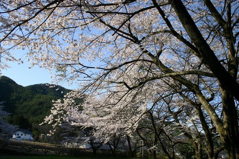 桜が咲いたら、春の種蒔きがはじまる
