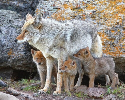 Coyotes are the most persecuted species on the planet.
