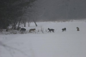Wolf family in Wisconsin - Photo credit: Jayne Belsky