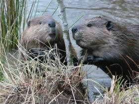 Coexistence with Beaver restores landscapes