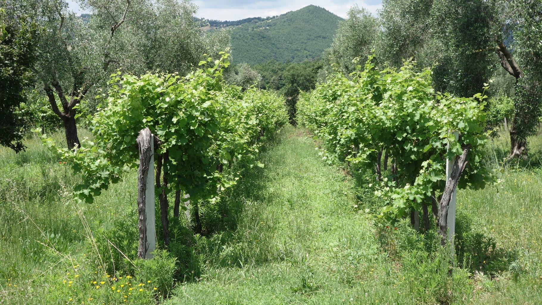 Spazierengehen durch die Weinplantagen