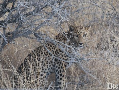 Léopard en Namibie