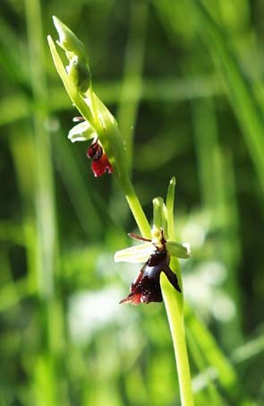 Ophrys insectifera,  H.Wermer