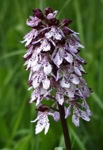 Orchis purpurea,  H.Werner