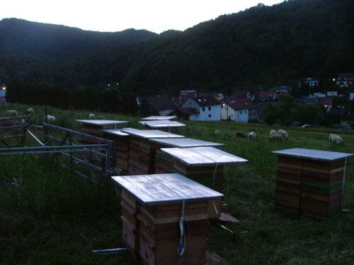 Abenddämmerung im Edelkastanienwald in der Pfalz