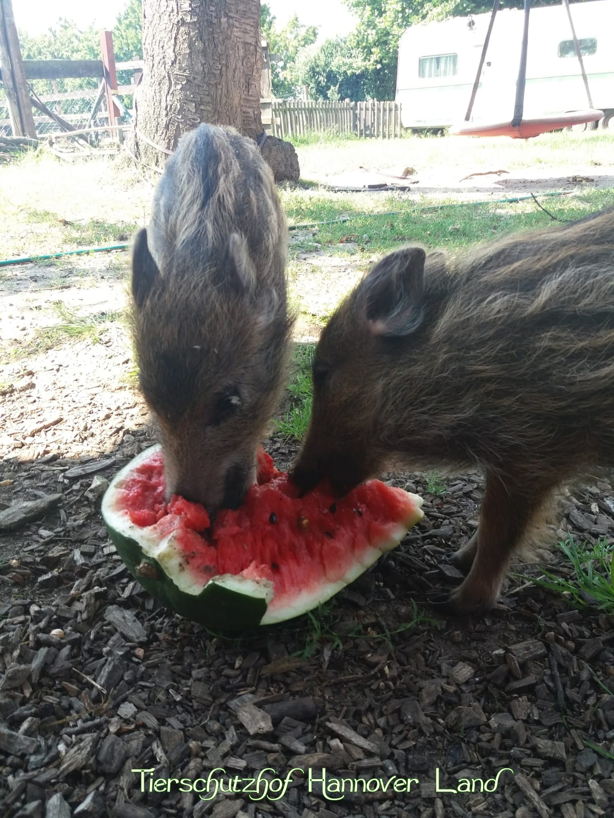 Heißes Wetter im August - da erfrischt eine Wassermelone wunderbar...