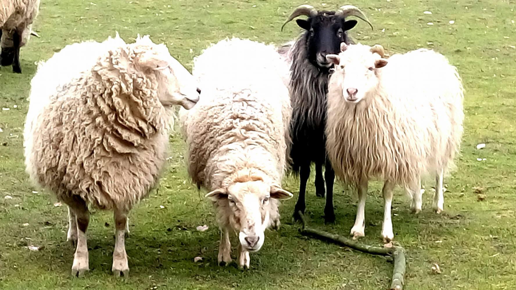 Susi, Mäh, Whitey und Schnucki