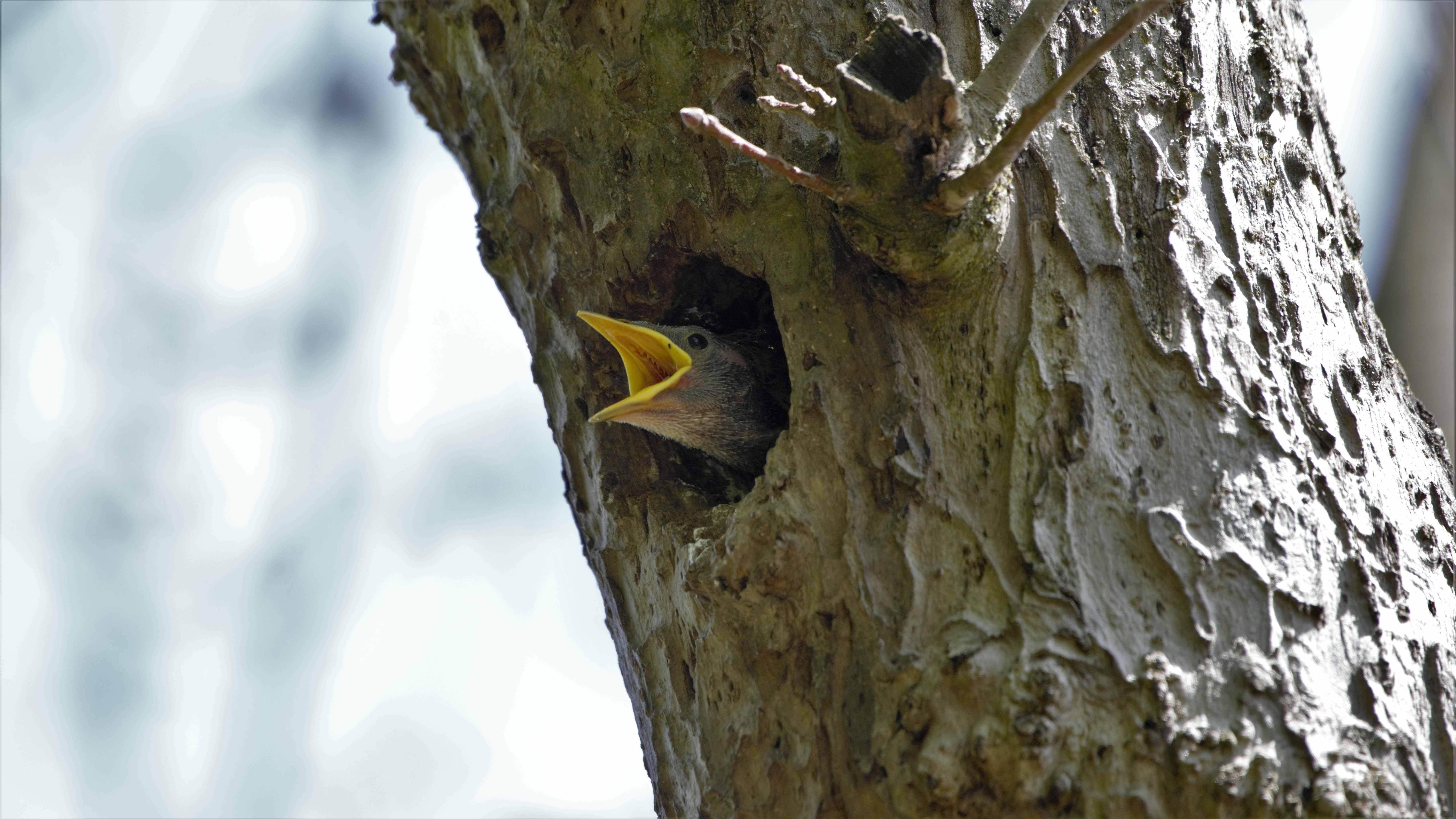 Common Starling (baby), Star, Sturnus vulgaris