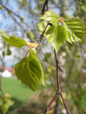 Birke - Betula alba