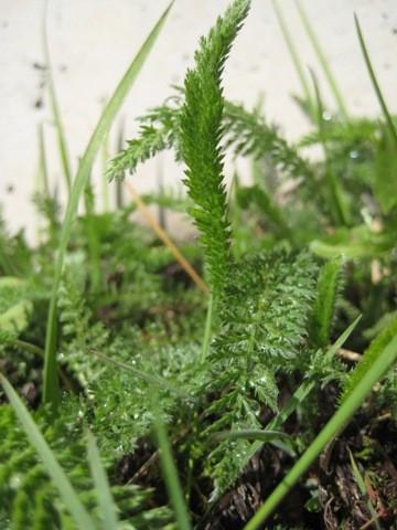 Schafgarbe - Achillea millefolium