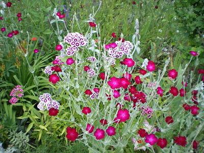 Oeillets et lychnis coronarias - jardin du gîte la Fontaine St Gervais - Aumont en Halatte - Oise