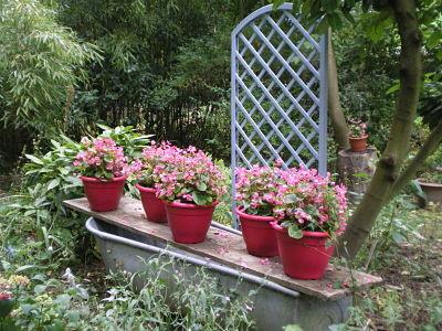 Bégonias en fleurs - jardin du gîte la Fontaine St Gervais - Aumont en Halatte - Oise