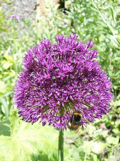 Allium au jardin du gîte la Fontaine St Gervais - Aumont en Halatte - Oise